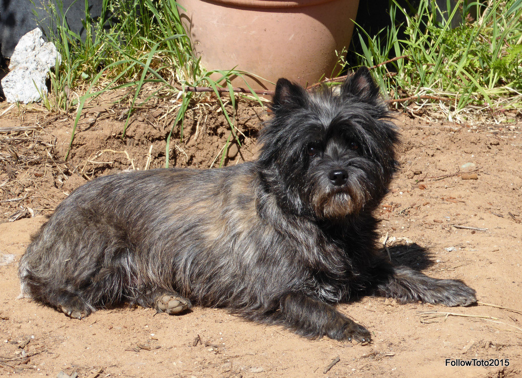 Runa, brindle-colored Cairn terrier. Gorgeous.