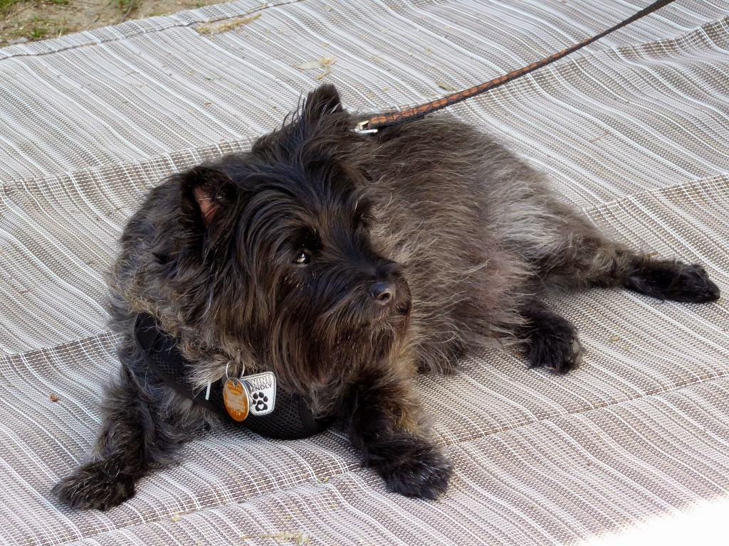 Tyler the Cairn Terrier, lying on a nice RV mat.