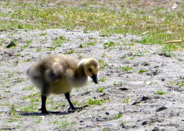 A gosling on the dunes.