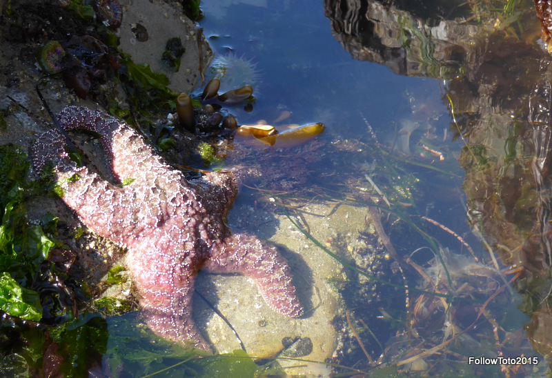 Perhaps you've read about the disease affecting sea stars all along the Pacific coast. Lots have perished. Others are a paler version of their former, brightly-colored selves. But this one is hanging in there, by gum, at Crystal Cove.