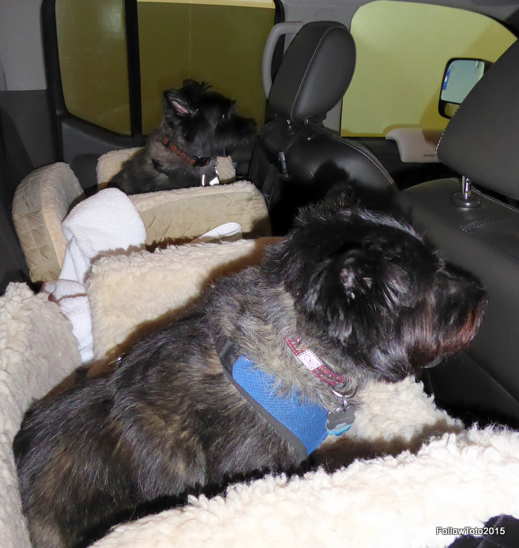 Terriers in car seats on the ferry to Vancouver Island