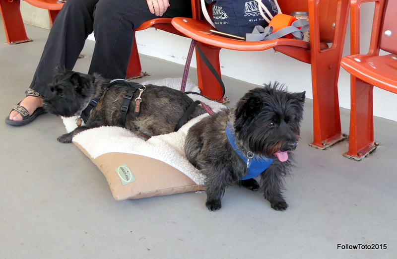 Cairn terriers, human legs, outdoor ferry seating, doggie bed.