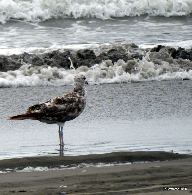 Gull standing at the edge of the Pacific, breakers in background