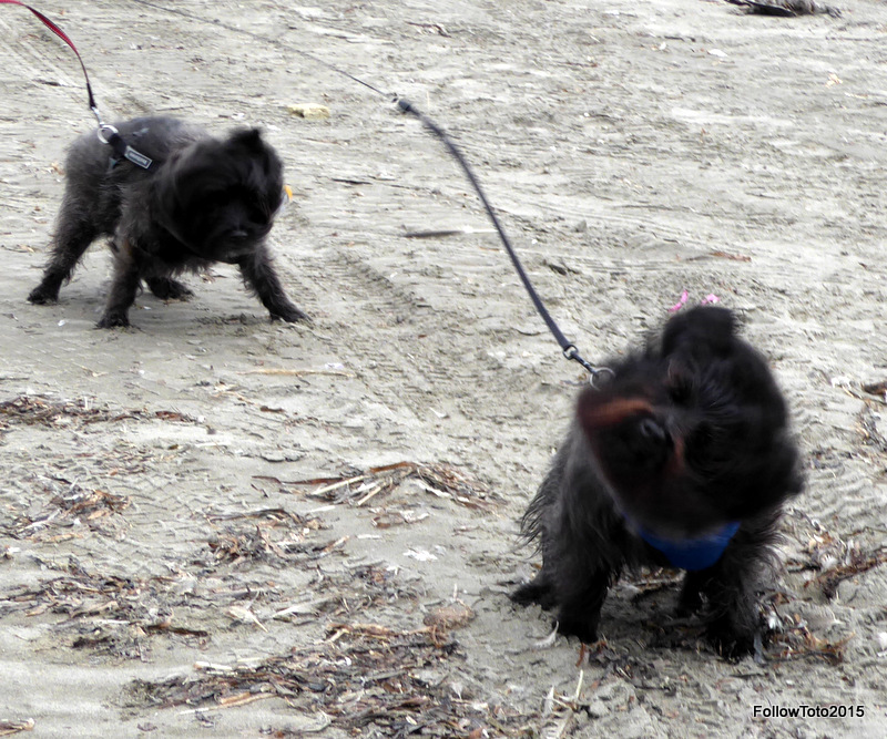 Cairn terriers shaking off sand, or something.