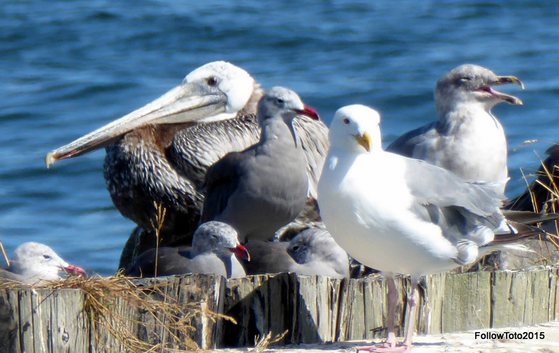 Gulls, pelicans on a breakwater made of pilings.