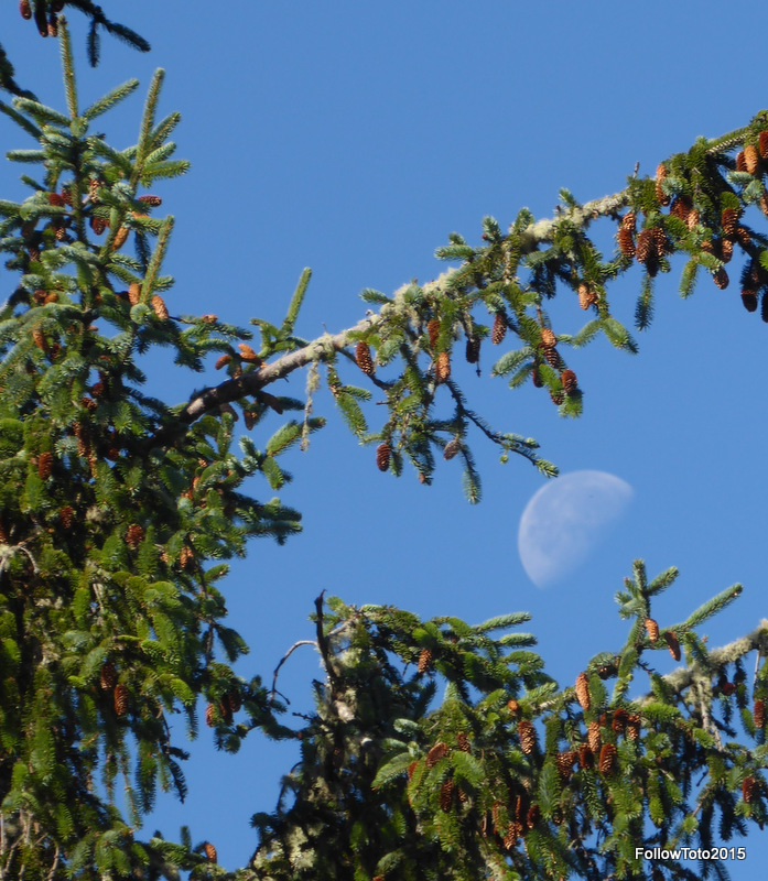 Waning, gibbous moon in a blue sky, framed by authentic coniferous tree branches, cones and all.