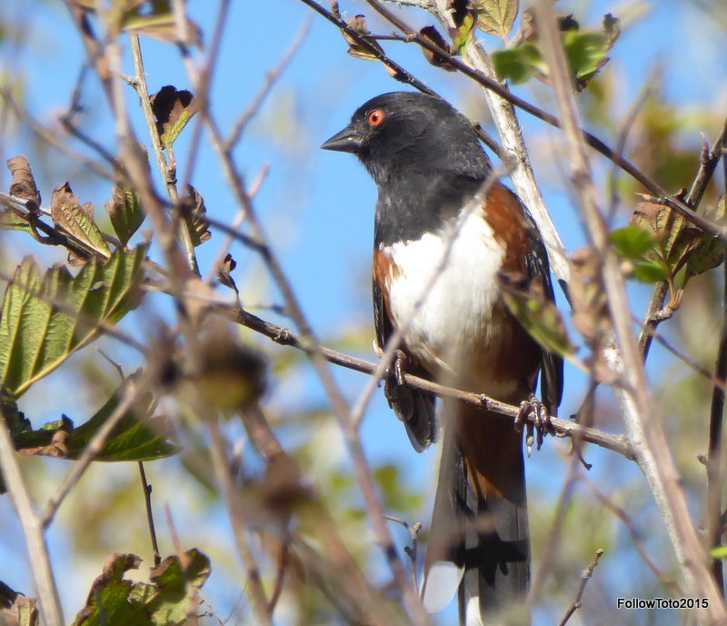 Spotted Towhee, glaring at something.